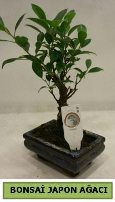 Bonsai japon ağacı saksı bitkisi  Ordu hediye sevgilime hediye çiçek