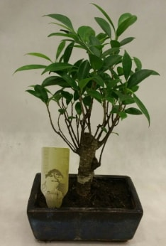Japon ağacı bonsai bitkisi satışı  Ordu çiçek yolla