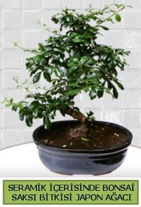 Seramik vazoda bonsai japon ağacı bitkisi  Ordu hediye çiçek yolla