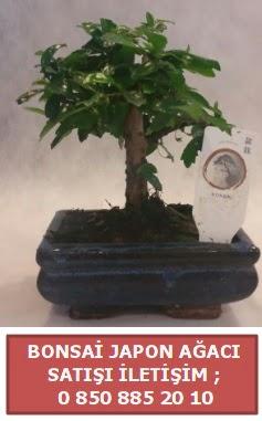 Japon ağacı minyaür bonsai satışı  Ordu çiçek gönderme