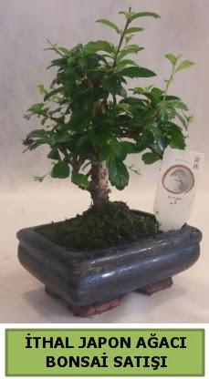 İthal japon ağacı bonsai bitkisi satışı  Ordu çiçek yolla