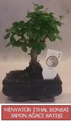 Küçük görsel bonsai japon ağacı bitkisi  Ordu çiçekçi telefonları