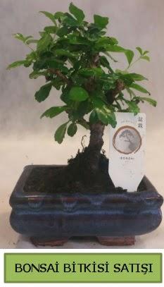 Bonsai ithal görsel minyatür japon ağacı  Ordu çiçek satışı