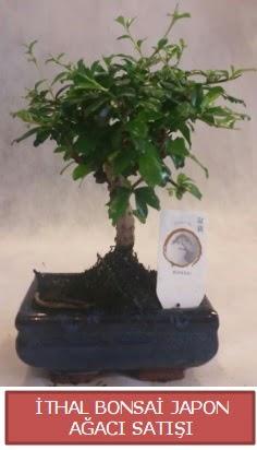 İthal küçük boy minyatür bonsai ağaç bitkisi  Ordu çiçek yolla