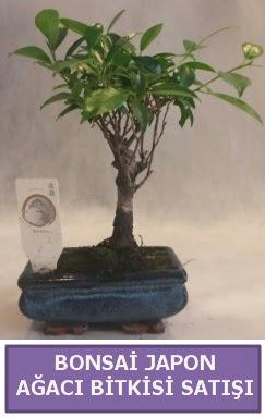 İthal Bonsai japon ağacı bitkisi satışı  Ordu online çiçekçi , çiçek siparişi