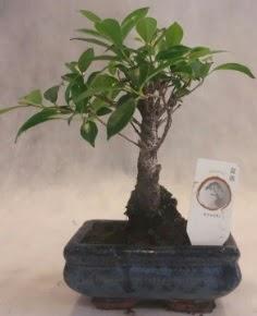 Bonsai ağacı japon ağaç bitkisi  Ordu İnternetten çiçek siparişi