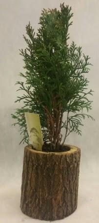 SINIRLI STOK Selvi Bonsai Doğal kütükte  Ordu online çiçekçi , çiçek siparişi