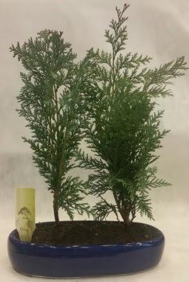 SINIRLI SAYIDA Selvi Ağacı bonsai ikili  Ordu çiçek yolla