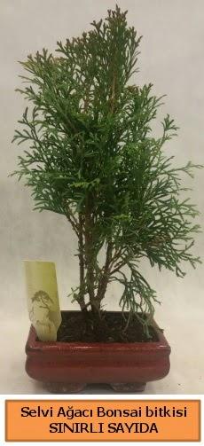 Selvi ağacı bonsai japon ağacı bitkisi  Ordu çiçek gönderme