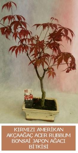 Amerikan akçaağaç Acer Rubrum bonsai  Ordu cicek , cicekci