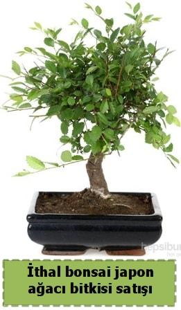 İthal bonsai saksı çiçeği Japon ağacı satışı  Ordu online çiçekçi , çiçek siparişi