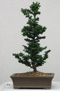 Çam ağacı bonsai bitkisi satışı  Ordu çiçek yolla