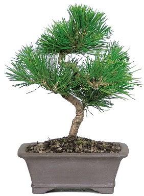 Çam ağacı bonsai japon ağacı bitkisi  Ordu çiçek gönderme sitemiz güvenlidir