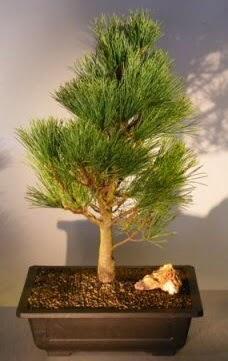 Çam ağacı japon ağacı bitkisi bonsai  Ordu çiçek yolla