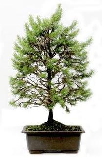 *** STOKTA YOK - Çam ağacı bonsai bitkisi satışı  Ordu online çiçek gönderme sipariş