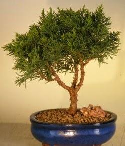 Servi çam bonsai japon ağacı bitkisi  Ordu İnternetten çiçek siparişi
