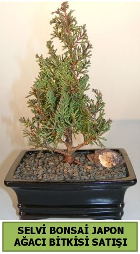 Selvi çam japon ağacı bitkisi bonsai  Ordu çiçek yolla