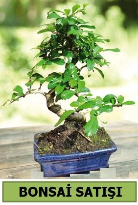 Çam bonsai japon ağacı satışı  Ordu çiçek gönderme