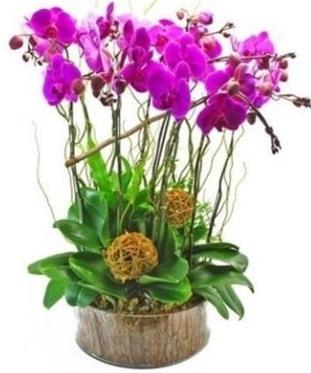 Ahşap kütükte lila mor orkide 8 li  Ordu çiçekçi mağazası