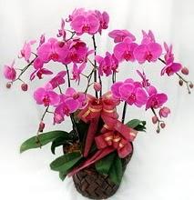 Sepet içerisinde 5 dallı lila orkide  Ordu çiçek satışı