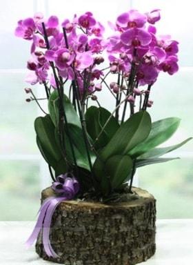 Kütük içerisinde 6 dallı mor orkide  Ordu çiçek satışı