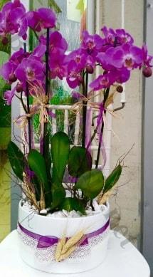 Seramik vazoda 4 dallı mor lila orkide  Ordu internetten çiçek siparişi