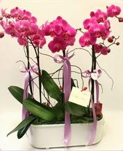 Beyaz seramik içerisinde 4 dallı orkide  Ordu çiçek satışı