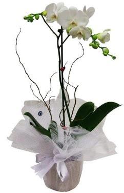 Tek dallı beyaz orkide  Ordu çiçek siparişi vermek