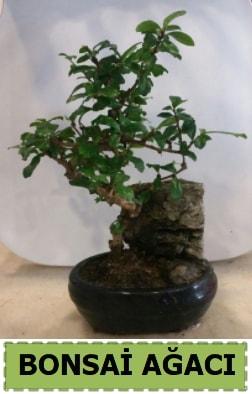 Bonsai ağacı japon ağacı satışı  Ordu çiçek , çiçekçi , çiçekçilik