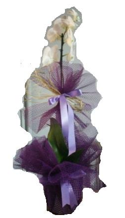 Tek dallı beyaz orkide süper kalite ithal  Ordu hediye çiçek yolla