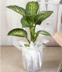Tropik saksı çiçeği bitkisi  Ordu çiçek gönderme