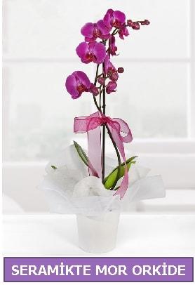 Seramik içerisinde birinci kalite tek dallı mor orkide  Ordu online çiçekçi , çiçek siparişi