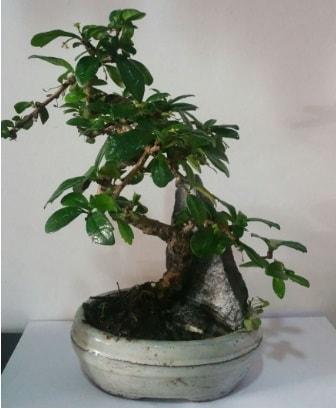 S şeklinde ithal bonsai ağacı  Ordu İnternetten çiçek siparişi