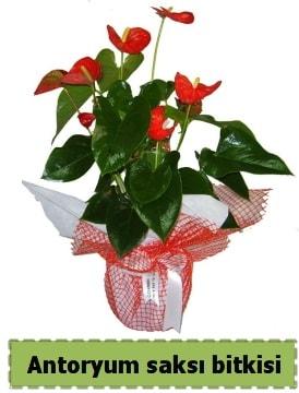 Antoryum saksı bitkisi satışı  Ordu çiçekçi telefonları