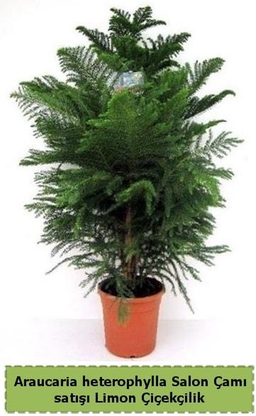 Salon Çamı Satışı Araucaria heterophylla  Ordu çiçek gönderme