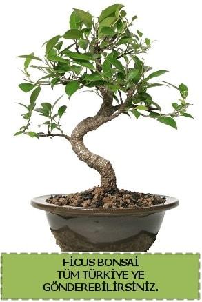 Ficus bonsai  Ordu çiçek yolla , çiçek gönder , çiçekçi