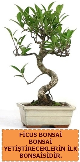 Ficus bonsai 15 ile 25 cm arasındadır  Ordu İnternetten çiçek siparişi