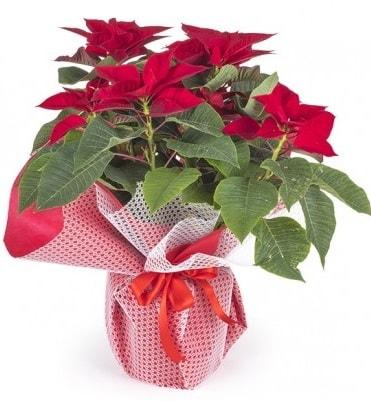 Atatürk çiçeği saksı bitkisi  Ordu çiçek yolla , çiçek gönder , çiçekçi