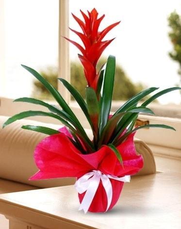 Guzmanya Saksı Çiçeği  Ordu İnternetten çiçek siparişi