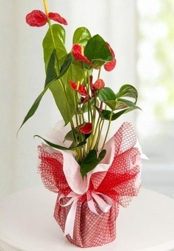 Anthurium Saksı Çiçeği  Ordu çiçek , çiçekçi , çiçekçilik