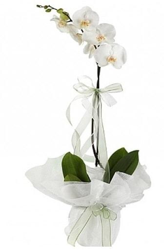 Tekli Beyaz Orkide  Ordu çiçek , çiçekçi , çiçekçilik