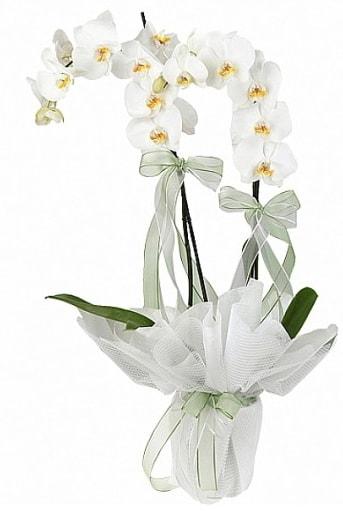 Çift Dallı Beyaz Orkide  Ordu uluslararası çiçek gönderme
