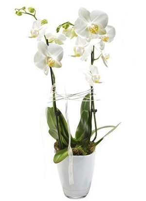 2 dallı beyaz seramik beyaz orkide saksısı  Ordu çiçek yolla , çiçek gönder , çiçekçi
