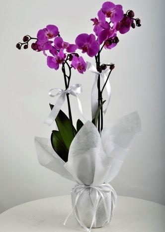 Çift dallı saksıda mor orkide çiçeği  Ordu çiçekçiler