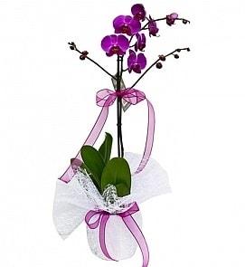 Tek dallı saksıda ithal mor orkide çiçeği  Ordu çiçek siparişi sitesi