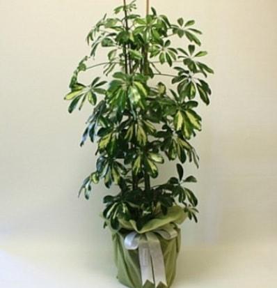 Şeflera salon bitkisi  Ordu çiçek gönderme sitemiz güvenlidir