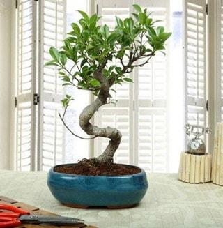 Amazing Bonsai Ficus S İthal  Ordu internetten çiçek satışı