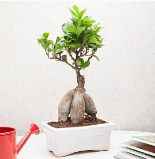 Exotic Ficus Bonsai ginseng  Ordu hediye sevgilime hediye çiçek