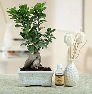 Ginseng ficus bonsai  Ordu çiçek siparişi sitesi