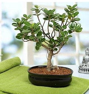 Lovely Ficus Iceland Bonsai  Ordu uluslararası çiçek gönderme
